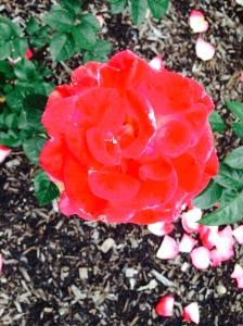 Red Rose Rapture